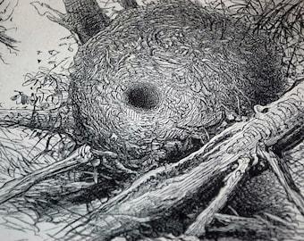 1895 Engraving of Bird Nests