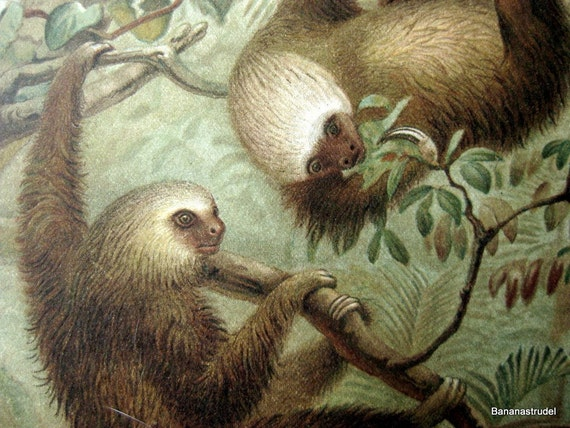 Antique Chromolithograph of Two-toed Sloths. From Lydekker's New Natural History