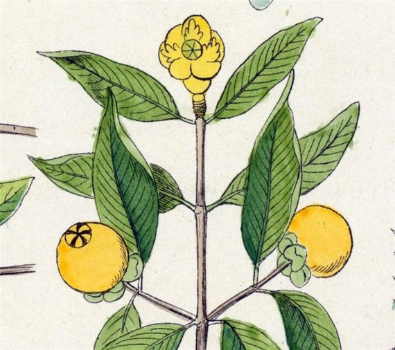 1881 Vintage Botanical Print - Handcolored (37)