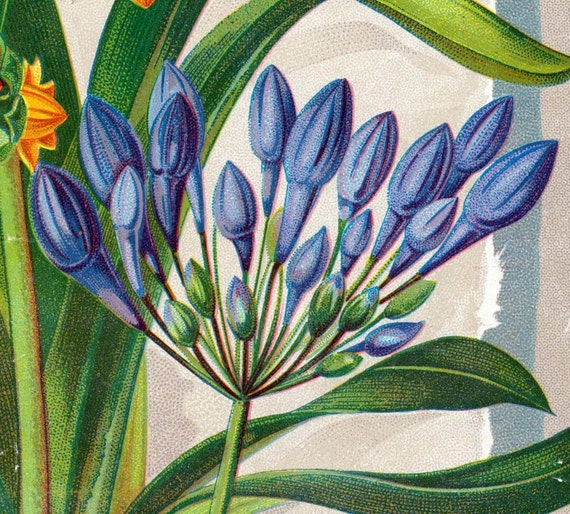 1890s Vintage Botanical Print of Hyacinths (Brodiaea Laxa and Brodieae Coccinea) - Chromolithograph