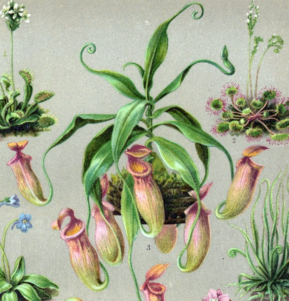 1894 Antique German Chromolithograph of Insectivorous Plants