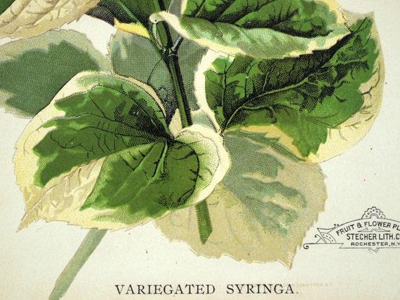 1890 Very Rare Luscious Antique Chromolithograph of the Variegated Syringa (Syringa coronarius variegata)