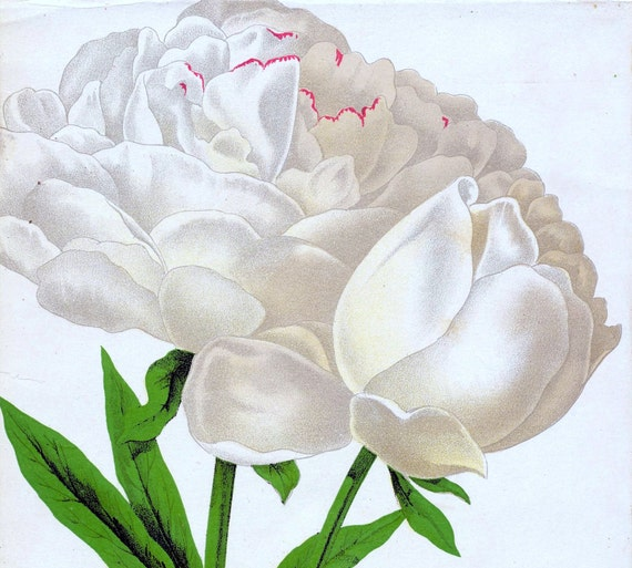 1890 Very Rare Antique Chromolithograph of the Chinese Herbaceous Peony (RESERVED)