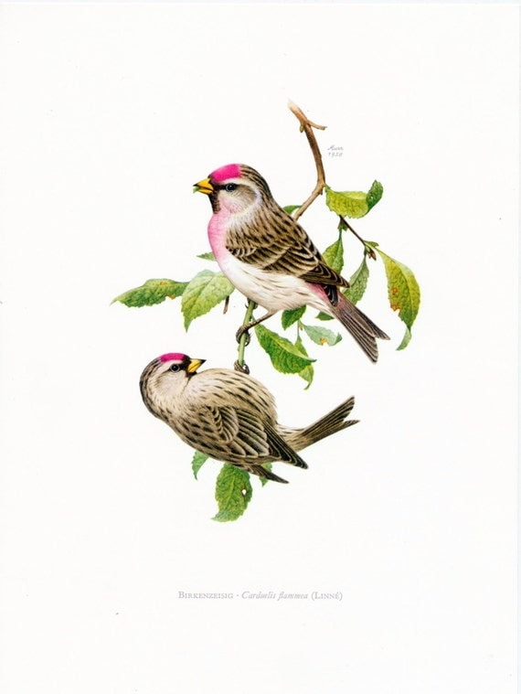 1962 German Vintage Print of the Common Redpoll