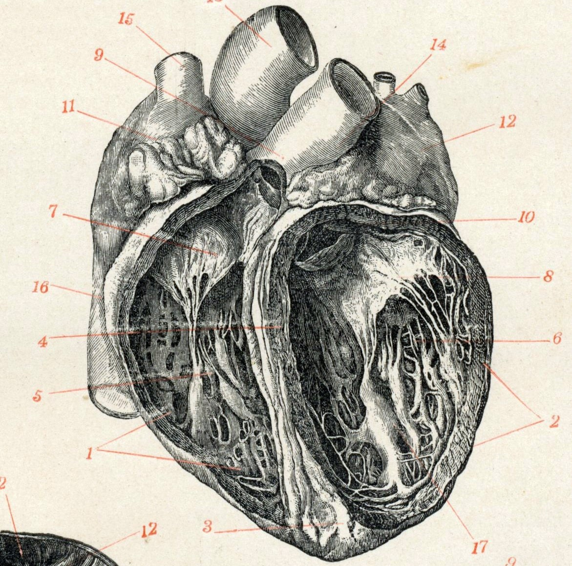 Human heart anatomy vintage - photo#16