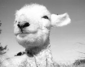 Lamb,Sheep, Newborn, Photograph. Black and white taken in new zealand. Nursery, baby shower, gift
