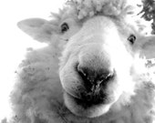 Fatso the Sheep, Lamb,black and white photography. Great for Nursery, baby shower, gift, original photo