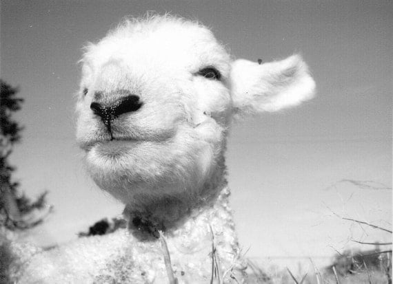 Lamb/Sheep photograph, Black and white taken in New Zealand. Sweet face in the Sunshine Great Easter Gift, Religous theme