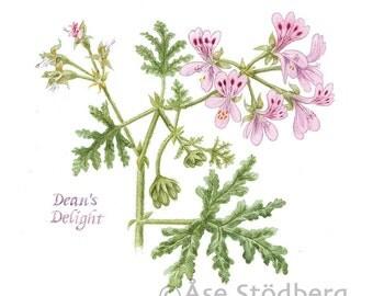 Scented Pelargonium - Art Print