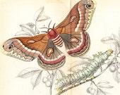 Antique Entomology Exotic Moth Art Print Vol VII Dated 1841 . Cecropia Moth (Hyalophora Cecropia)
