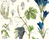 Antique Botanical Print XIII . original chromolithograph dated 1890 old vintage art . grapes, periwinkle