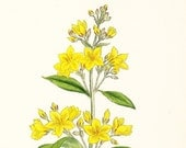 Antique Print . Common Loosestrife (Lysimachia vulgaris) . original hand coloured engraving dated 1880