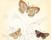 Antique Butterfly Print . original old vintage ornithology engraving plate 12 . british butterflies art dated 1835 . wall hanging
