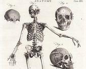 Antique Anatomy Print . Human Skeleton and Skull (Front View) . Plate XVII . copper plate engraving dated 1797