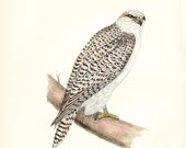 etsyprojectembrace - Profits to American Cancer Society - 1895 Jer Falcon Morris Print - original hand coloured woodblock