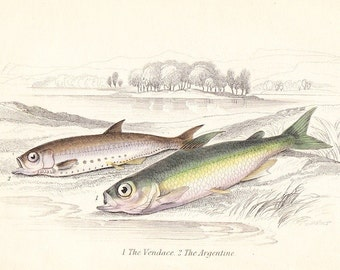Antique Print . Vendace, argentine . first edition vol II . original engraving dated 1843 old vintage fish art