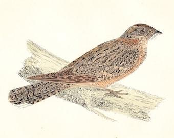 Red Necked Nightjar . Antique Bird Print . original hand coloured woodblock plate old vintage art dated 1893