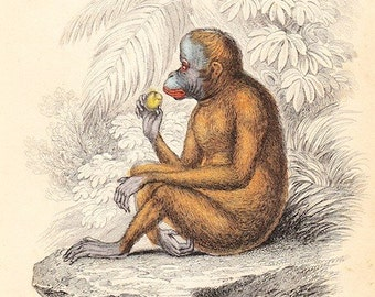 Antique Animal Print . The Red Orang Outang (pithecus satyrus) plate 2 . dated 1854 . old vintage art