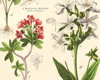 Antique Herb Print . Schubert plantae plate XXII . dated 1890 . original german chromolithograph