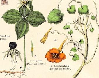 Antique Botanical Plate . Schubert plantae print XX dated 1890 . original german chromolithograph
