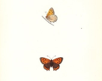 Small Copper . Antique Butterfly Print . plate 55 . 1st edition woodlblock dated 1853 . old vintage entomology specimen art chart