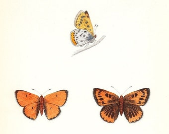Large Copper . Antique Butterfly Print . plate 54 . original woodblock dated 1853 old vintage entomology art plate