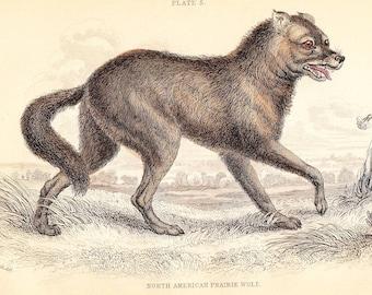 North American Prairie Wolf . Vintage Canine Print vol I . original antique art engraving plate circa 1850