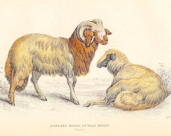 Barbary Broad Tailed Sheep . Antique Vintage Jardine Print Vol IV . first edition old engraving dated 1836 . naturalists library