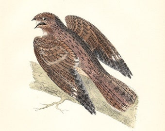 Nightjar . Antique Bird Print dated 1893 . original hand coloured woodblock art . old vintage ornithology plate