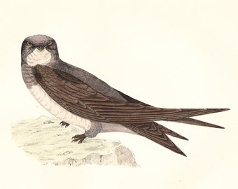 Alpine Swift . Antique Bird Print . original art . hand coloured woodblock . dated 1893 . Old vintage ornithology plate
