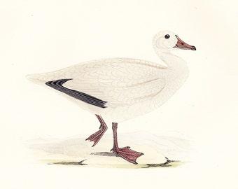 Snow Goose . Vintage Bird Print . original old antique ornithology woodblock art plate . Vol. V dated 1897