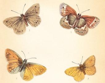 Small Heath Butterfly, Small Ringlet, Marsh Ringlet . Antique Print . original engraving plate 26 . british butterflies art dated 1835