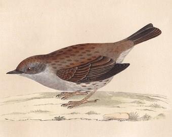 Vintage Dunnock print . original old antique bird plate woodblock . vol III, dated 1853