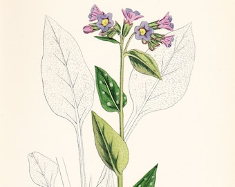 Antique Common Lungwort (Pulmonaria officinalis) Print . old vintage botanical plate dated 1880
