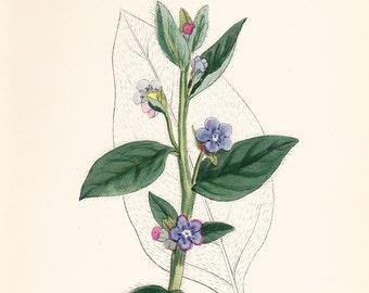 Original vintage print . Evergreen Alkanet (Anchusa sempervirens) old antique botanical plate dated 1880