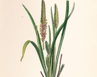 Sea Plantain (Plantago maritima, var. latifolia) Original Antique Vintage Print  old botanical plate dated 1880