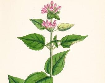 Antique Herb Print . Common hemp nettle, var. B (Galeopsis eu Tetrahit) . original old vintage engraving dated 1880 botanical plate