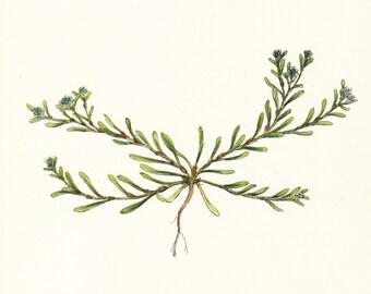 Antique Wild Flower Print . Sand Strapwort (corrigiola littoralis) . Original old vintage plate Dated 1880 specimen illustration