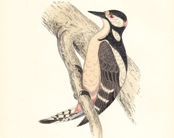 Profits to American Cancer Society . Great Spotted Woodpecker Antique Print . original hand coloured woodblock dated 1893
