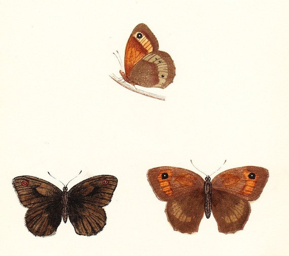 Antique Large Meadow Brown Butterfly Print . plate 19 . original vintage woodblock dated 1853 old art illustration entomology specimen chart