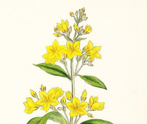 Antique Print . Common Loosestrife (Lysimachia vulgaris) . original hand coloured engraving dated 1880