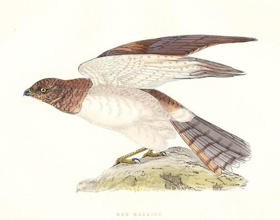 Hen Harrier . Antique Bird Print . original art . hand coloured woodblock . dated 1895