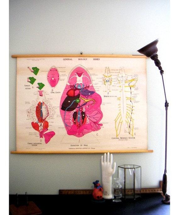 Vintage biology wall chart - frog