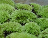 Spiny creatures from the forest floor... No It's only Live Cushion Moss- 25 Pieces Live Pillow Moss for terrariums and more