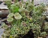 Crazy Cladonia and Freaky fruiticose Lichens-5 Sections total great for Terrariums-Leafy Lichen
