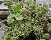 Pixie cup lichen-Crazy Cladonia and Freaky fruiticose Lichens-5 Sections total great for Terrariums