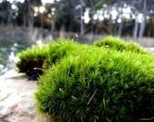 Green Mood Moss-Frog Moss-Live Moss for Terrariums and Vivariums-Quart Bag