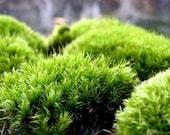 Terrarium Moss-Frog Moss-Live Moss for Terrariums and Vivariums-Quart Bag