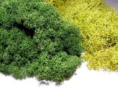 Reindeer Moss 8 Oz Preserved in 3 Colors-Chartreuse-Forest Green-Natural-Terrarium supplies-Air Plant supplies