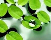 SALVINIA NATANS-Floating pond/Aquarium/Vivarium plant